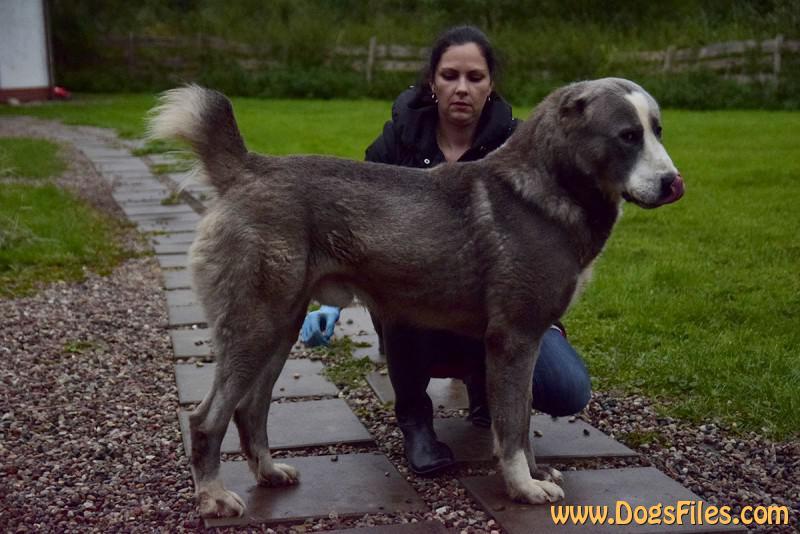 Manush Calendario.Base De Datos De Pedigri Central Asia Shepherd Dog