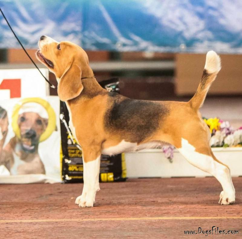 Fairytaleloly Barbariska Lilt Pedigree Database Beagle